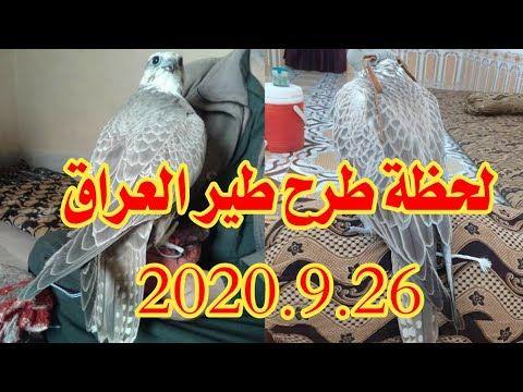 لحظة طرح طير العراق حر وحش نادر 2020 9 26 Youtube Falcon Hunting Hunting Falcons