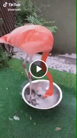 Alguém sabe o que é que esse flamingo quer?Veja.