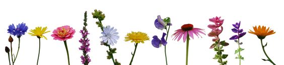 From left to right: Cornflower (Centaurea cyanus), Pot Marigold (Calendula officinalis), Zinnia (Zinnia elegans), Purple Loosestrife (Lythrum salicaria), Common Chicory (Cichorium intybus), Pot Marigold (Calendula officinalis), Sweet Pea (Lathyrus odoratus), Narrow-leaved purple coneflower (Echinacea angustifolia), Annual Clary (Salvia viridis) both pink and purple, Pot Marigold (Calendula officinalis)