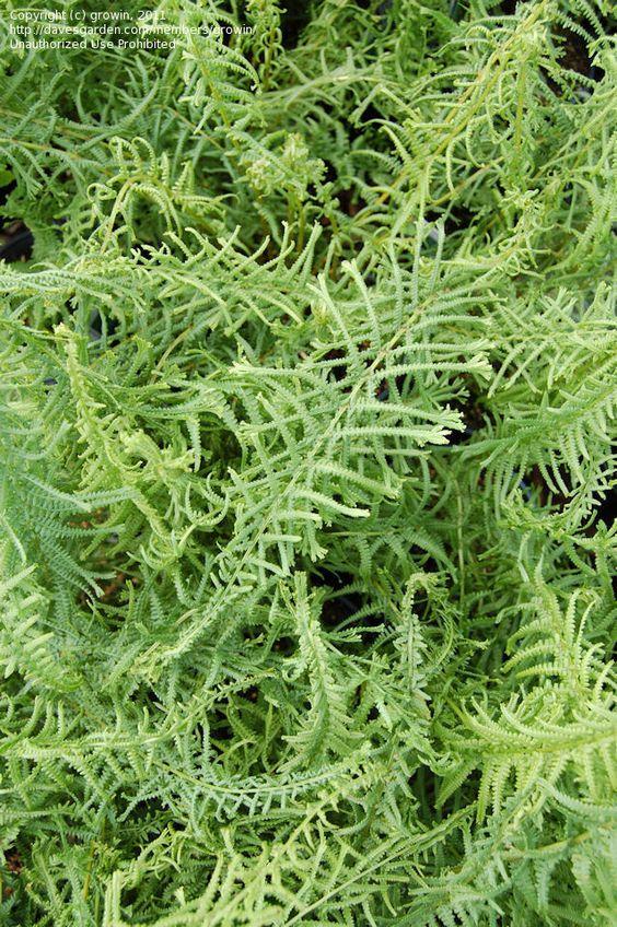 Lady Fern 'Victoriae' (Athyrium filix-femina 'Victoriae'). Photo: Dave's Garden user growin: Garden Ferns, Fern Victoriae, Gardens Ferns, Garden User, Dave S Garden, Ferns Athyriums, Ferns Varens