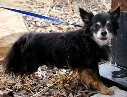 3 / 28    ***SENIOR/SPECIAL*** Petango.com – Meet Jethro, a 8 years 3 months Chihuahua, Long Coat / Mix available for adoption in Park City, UT Contact Information Address  P.O. Box 682155, Park City, UT, 84068  Phone  (435) 649-5441  Website  http://www.foautah.org  Email  cathyclark@foautah.org