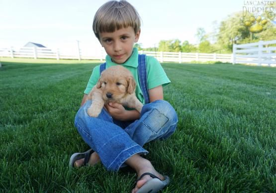 Jake Mini Goldendoodle Puppy For Sale In Millersburg Oh Lancaster Puppies Goldendoodle Puppy For Sale Mini Goldendoodle Mini Goldendoodle Puppies