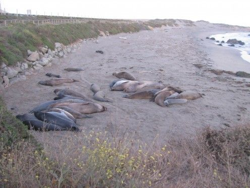 Elephant Seals along the coast at San Simeon: