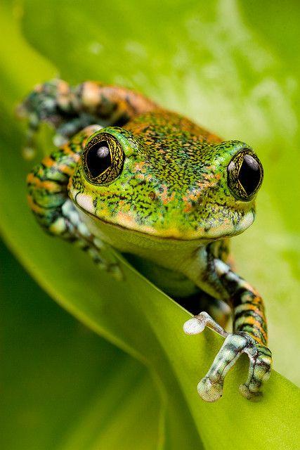 hi. i am a very green frog.