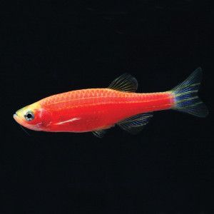 This Danio GloFish is sure to brighten up your tank!