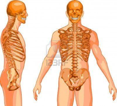 Skeleton Torso Stock Photo