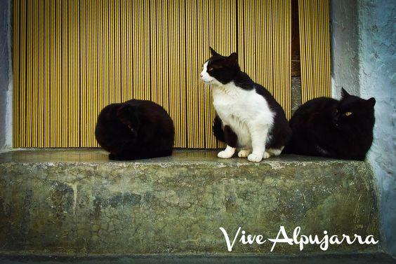 Los gatos de Pitres. Vive Alpujarra