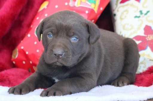 Catahoula Leopard Dog Labrador Retriever Mix Puppy For Sale In