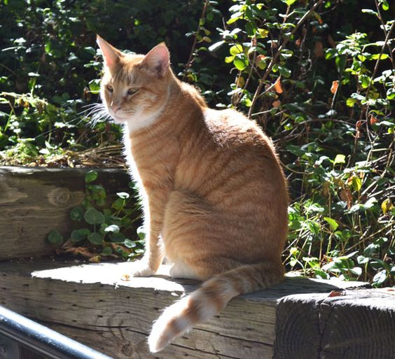 """Found this """"movie"""" cat sunning himself on the steps leading up to the Chateau Montelena Vineyard in Napa Valley."""