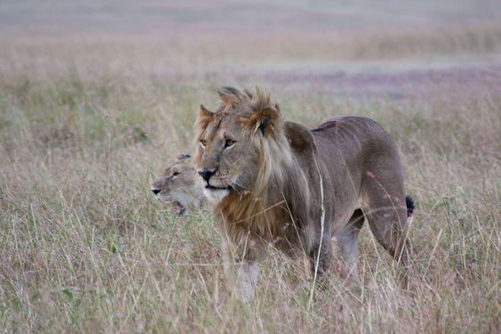 La pareja de leones de caza por su territorio en el Masai Mara en Kenia.