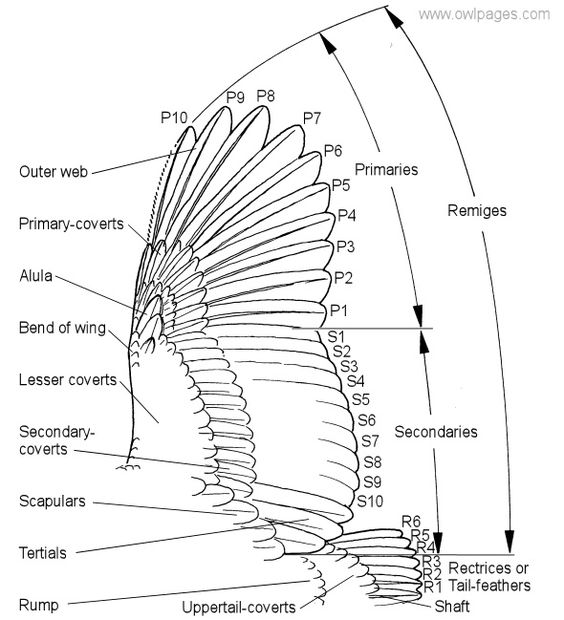 owl's wing