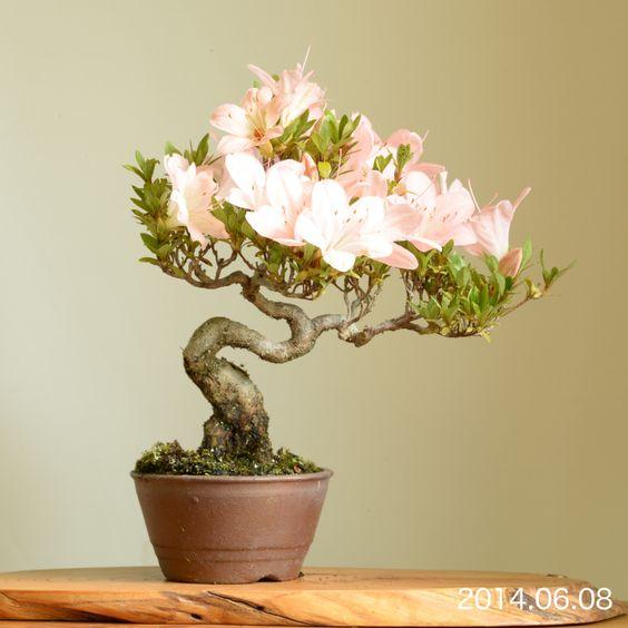サツキの小品盆栽 Satsuki azalea shohin-bonsai 2014.6.8 撮影 from online shop, Bonsai on the rock オンラインショップ開設しました。 手始めにサツキの小品盆栽をラインナップ。 bonsai on the rock