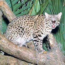 Leopardus guigna