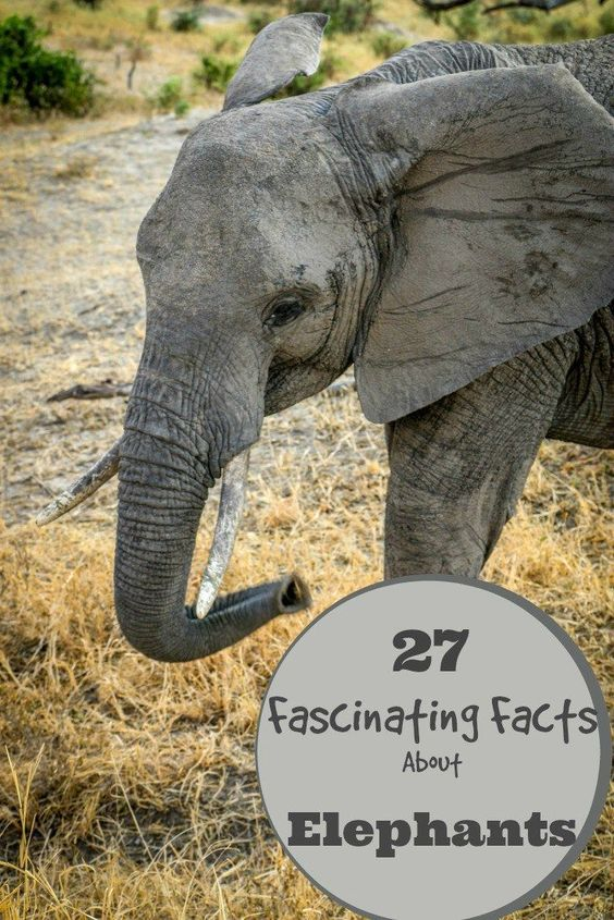 27 Fascinating Facts About Elephants for World Elephant Day, including facts about their bodies, behavior, communication and conservation. Click here to learn all about Elephants.