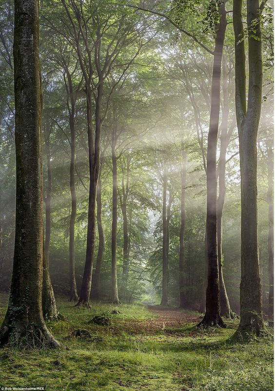 A natural corridor of trees is pictured in Buckholt Wood, Cranham, Gloucestershire, by photographer Rob Wolstenholme: