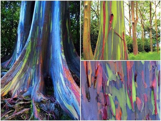 These are rainbow eucalyptus trees (Eucalyptus deglupta) and they hail from the Philippine Islands.  the rainbow eucalyptus does not have a thick, cork-like layer of bark on its trunk. The bark is smooth and as it grows it 'exfoliates' Once a layer is shed, a new fresh green bark is exposed. As this new bark ages, we can see the tissue change colour to dark green followed by a bluish colour, then to purple and pink-orange and then finally to a brown pigment right before exfoliation occurs.