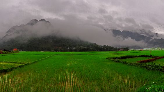 Morning Rice Field Vietnam: