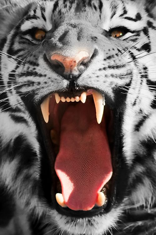 totallytransparent:  Semi Transparent Tiger (fur matches colour of your blog)Made by Totally Transparent
