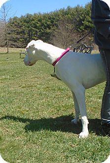 Somerset, PA - Great Dane Mix. Meet Elsa, a dog for adoption. http://www.adoptapet.com/pet/15304280-somerset-pennsylvania-great-dane-mix