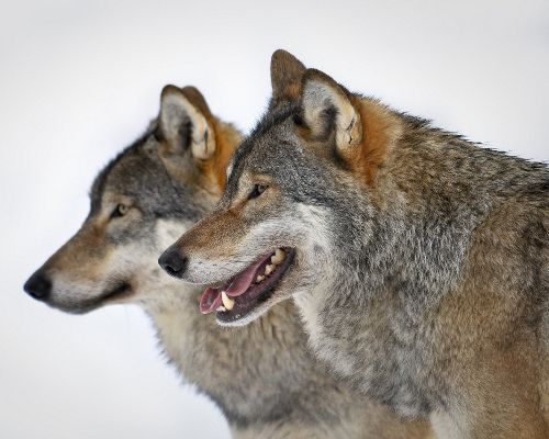 Often portrayed as tricksters and con artists in popular folklore, wolves have a family life that is more loyal and pious than most human relationships. Normally, packs consist of a male, a female and their offspring, essentially making wolf packs akin to a nuclear family.