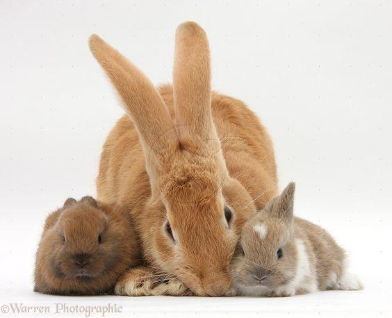 F Giant Rabbit Flemish giant rabbit, ...