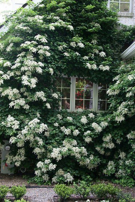 mur avec lierre vert, plante grimpante persistant, maison avec mur de lierre