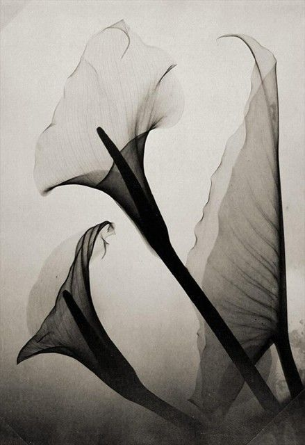 Thomas W. Louyle, Calla Lily X-Ray, 1930