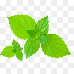 Mint Leaves Green Plant Leaf Png Transparent Clipart Image And Psd File For Free Download Leaf Clipart Leaves Leaves Vector