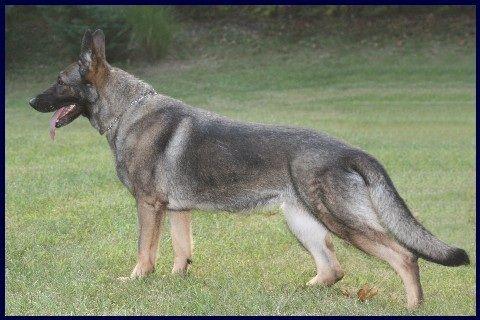 German Shepherd Blue And Tan Beautiful, Coloring an...