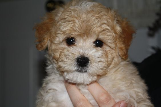 Maltipoo Maltipoo Puppies Thepuppymatchmaker Maltipoo Puppy Maltipoo Dog Puppies