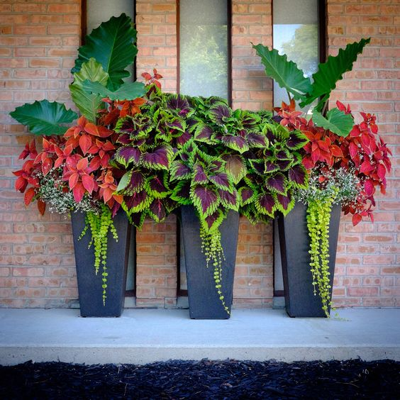 Tapered pots on our front porch. Coleus, elephant ears, creeping jenny.