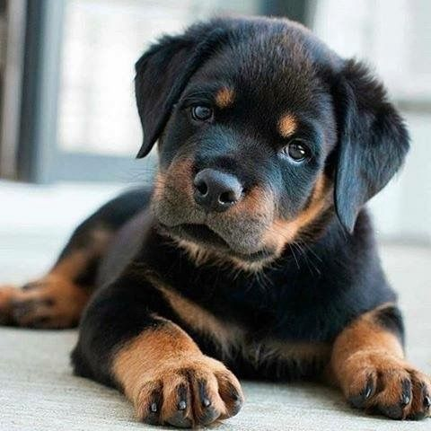 Love This Little One Wish I Could Have One Rottweiler