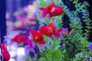 Red goldfish in a tank   #aquariumlighting #MHDE #HIT