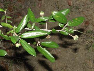 quercus virg leaf