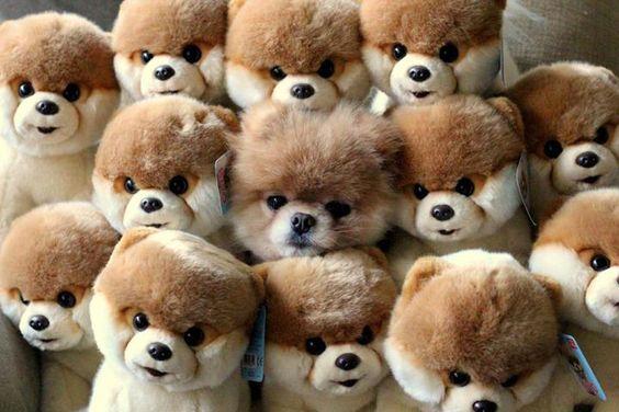 Boo the pomeranian hid inside a pile of Boo stuffed animals
