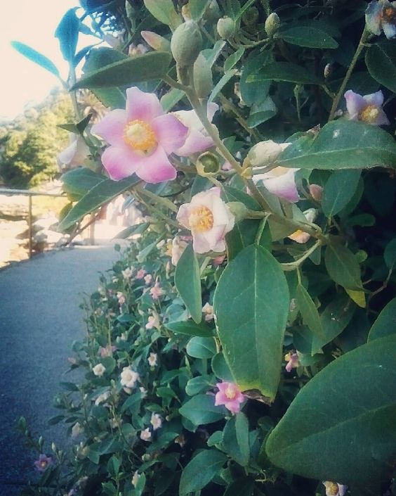 Jeez I love flowers this hedge just got trimmed and it decided to blossom anyway #bonditobronte  #beauty #bondi  #walking #summer #2015 by elsalittleford http://ift.tt/1KBxVYg