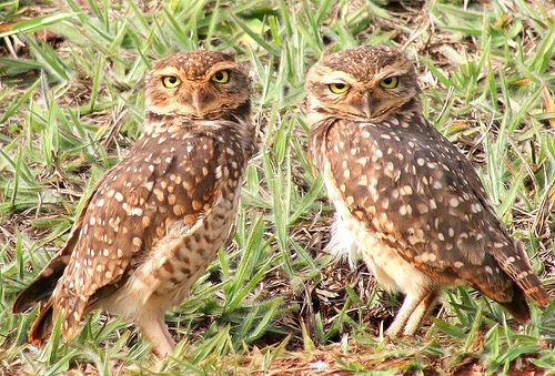 twin brown owls