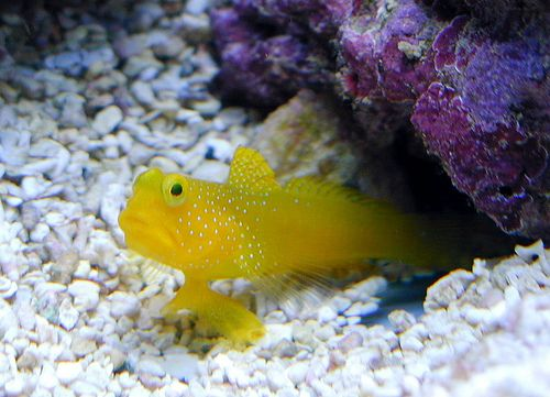 Yellow Watchman Goby In 2020 With Images Saltwater Fish Tanks Saltwater Aquarium Goby Fish