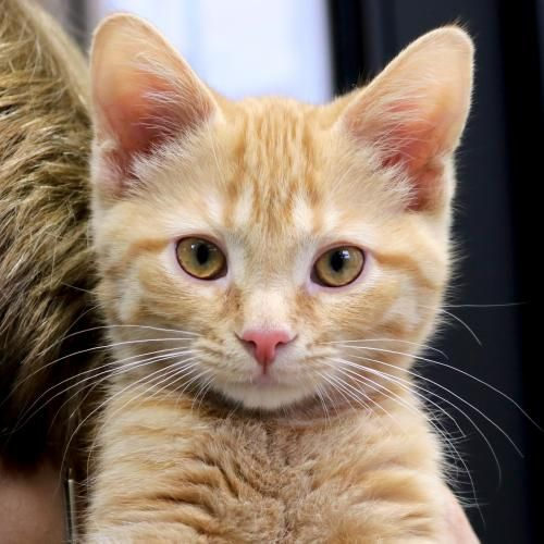 Hi I M Monkey I M A 6 Month Old Neutered Male Red Tabby Domestic Short Hair Katte Rod