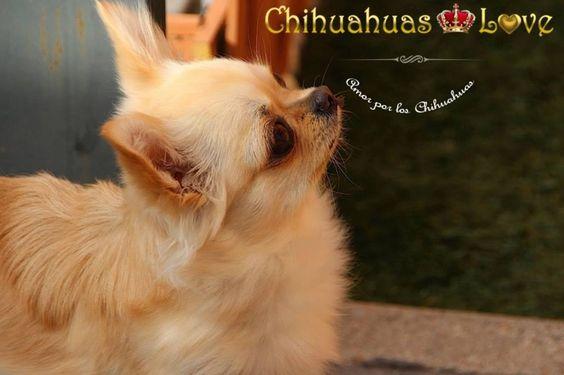 elegir cachorro chihuahua