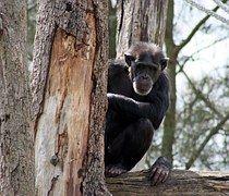 Schimpanse, Zoo, Affe, Menschenaffe, Tier