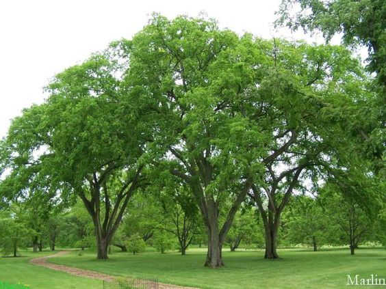 American Elm is a fast growing shade tree native to North America. Has a vase-shaped canopy with dark green leaves turning yellow in the fall. 60' tall and 45' wide. A cultivar variety is the Brandon Elm. It has a more compact, vase-shaped canopy and is slightly smaller reaching 45' tall and 30' wide. Both tolerates dry and wet conditions. An attractive tree for any country landscape.: