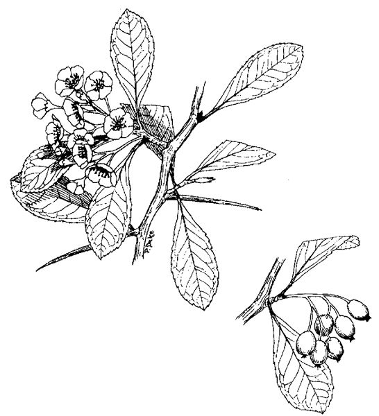hawthorn tree drawing Common hawthorn is a deciduous tree native in the UK and across Europe.