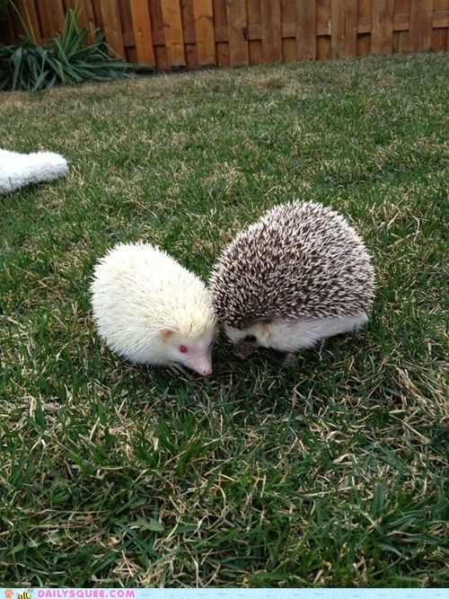 It's not so often youe see an albino hedgehog!  These two hedgehogs appear to be best friends despite their obvious difference! :-)