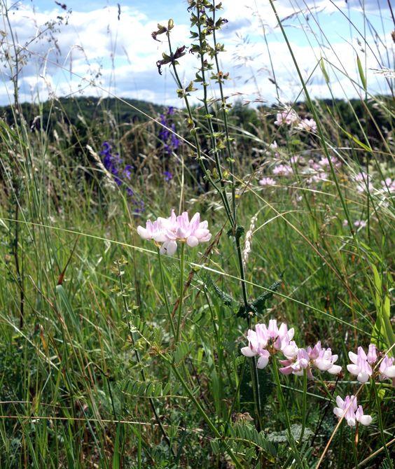 Für naturhafte Wiesen eigentlich unverzichtbar: die Bunte Kronwicke (Securigera varia).