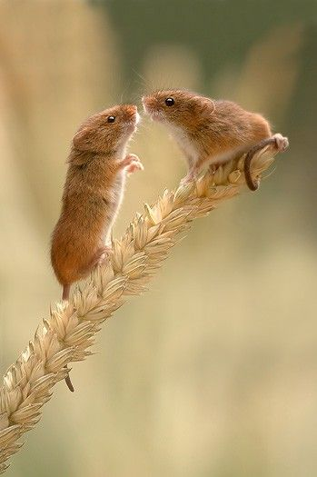Wild Field Mice balancing on a blade of wheat grass!