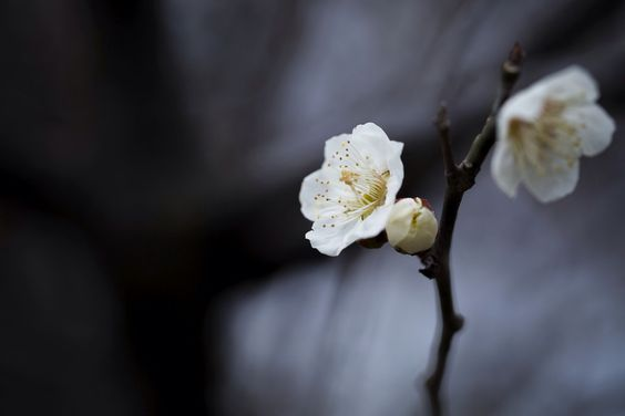 White plum by Masaru Kuroda on 500px