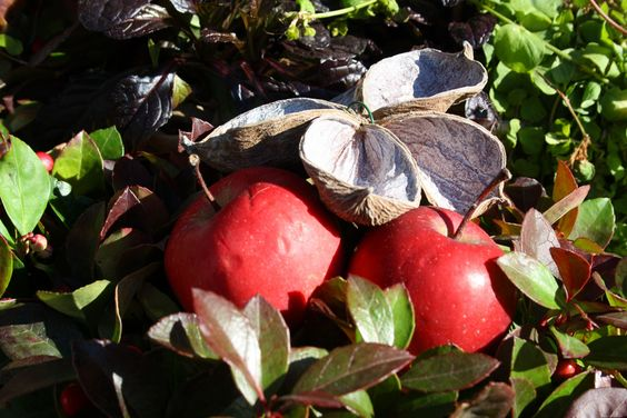 Herbstdekoration mit Zierapfel, Foto: Birgit Puck