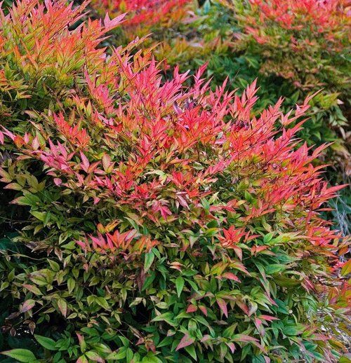 Gulf Stream Heavenly Bamboo Nandina 2 5 Pot Plants Garden Shrubs Shrubs