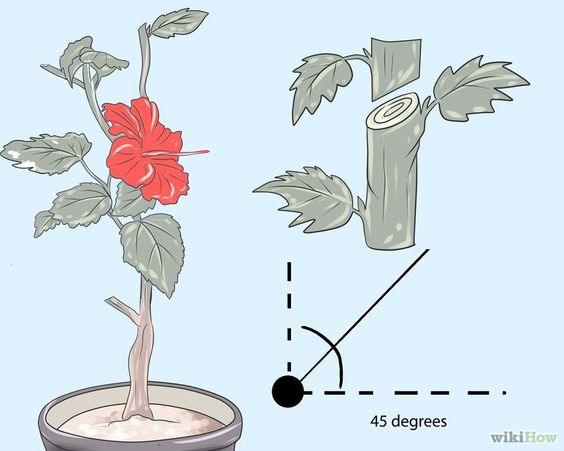 Prune Hibiscus Step 4 Version 2.jpg